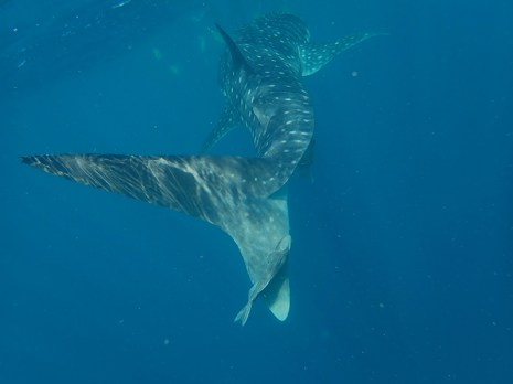 We were not disappointed as our first Whale Shark appeared