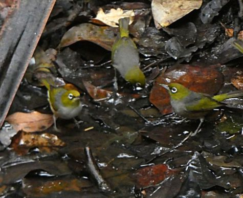 Silvereyes having a drink