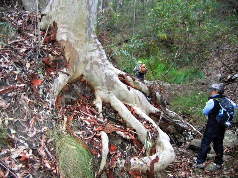 Another amazing spotted gum giant bonsai