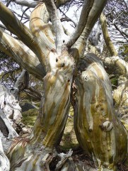 Snow gums in a hug.