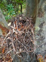 Lyrebird nest in tree fork.