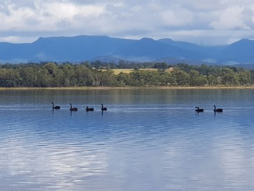 Black swans on Coila Lake.