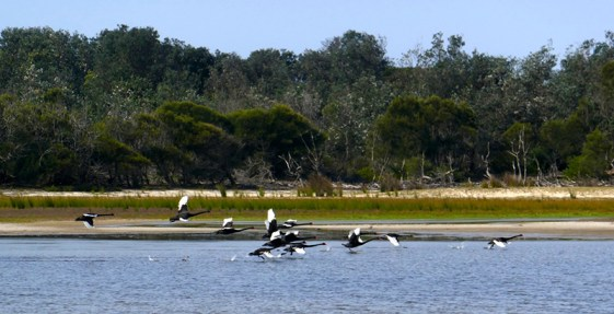 Black swans in flight.