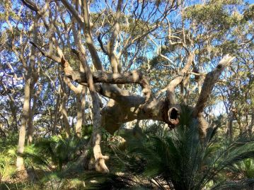Twisted spotted gum forest