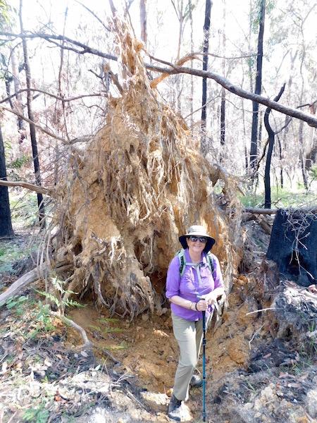 Karen M and an upturned tree