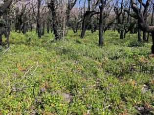 Burned forest with understorey of fan flowers