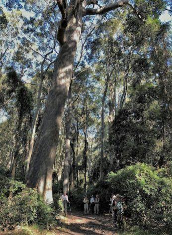 Walkers dwarfed by the Big Tree