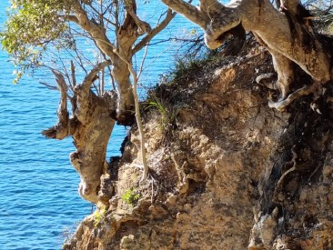 Tree clinging for dear life on cliff