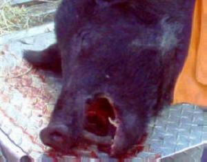 Nathan's hog