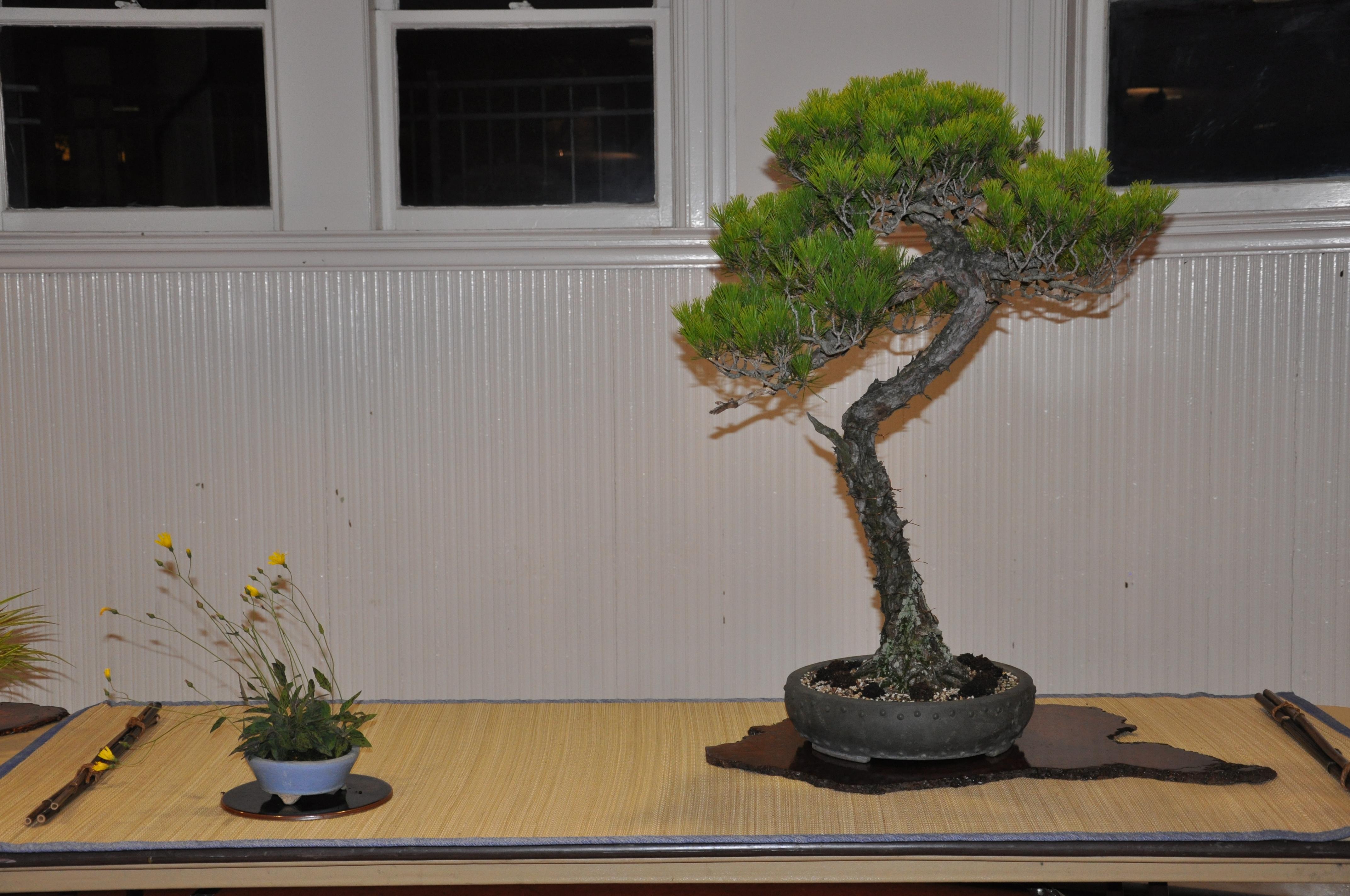 bonsai display 5,6-09 082
