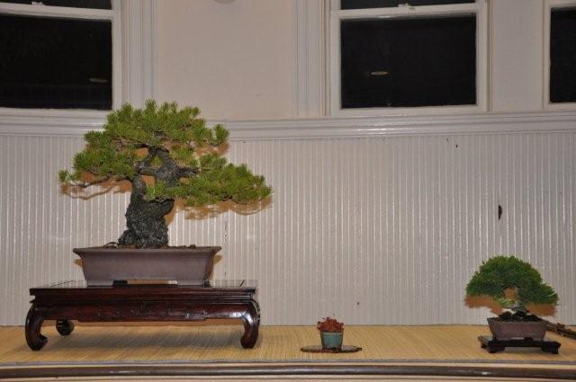 Shore pine 1
