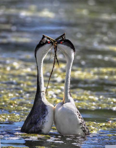 "Update 2014, California grebes:  Mating grebes engage in the ""weed dance,"" where they present each other with nest-building materials. Photo: madesonphotography.com, via BayNature.org"