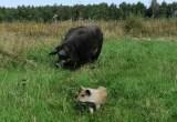 Фото поросёнок и свиноматка