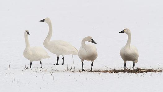 tundra-swans-526