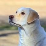 Bonnie Bayside Female Labrador