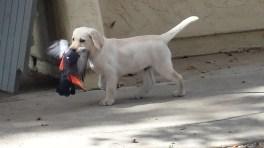 Bonnie puppy 8 weeks