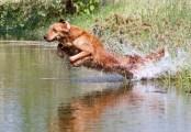 Labrador Retriever Training Facility