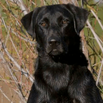 Otis Male Labrador Retriever