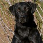 Otis Male Labrador Retriever