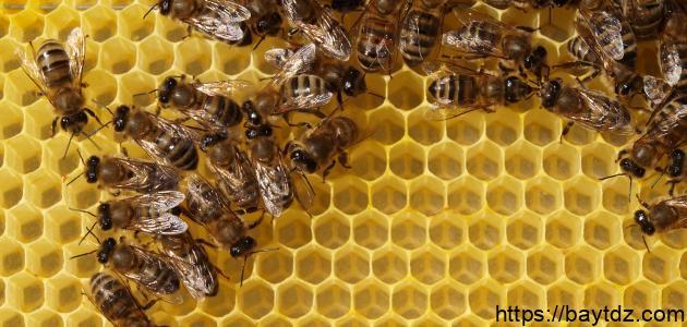 النحل و بناء الشمع