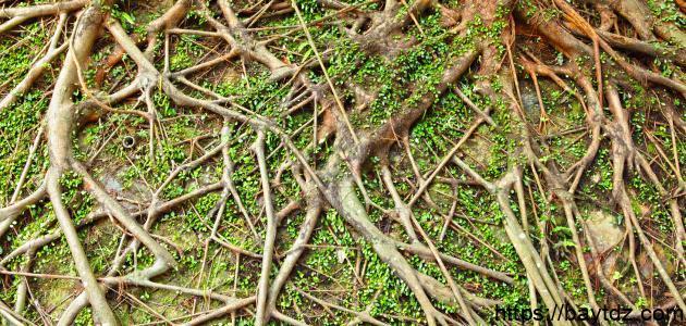 ما أهمية الجذور والسيقان للنباتات
