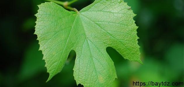 ما فوائد ورق العنب