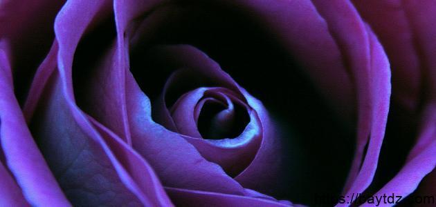 ماذا تعني الوردة البنفسجية