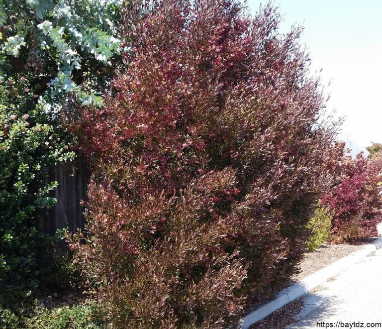 معلومات عن شجرة الديدونيا