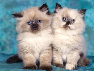 مشروع تربية القطط وبيع الصغار وتحقيق مكاسب جيدة