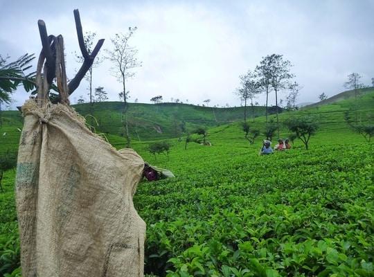 استيراد الشاي السيلاني من سريلانكا
