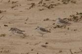 Snowy Plover & Sanderlings