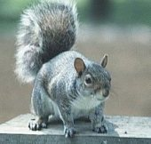 Grey Squirrel from NA