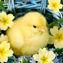 spring chick copy