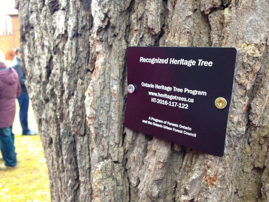 Great White Oak at St. Cuthbert's an Ontario Heritage Tree