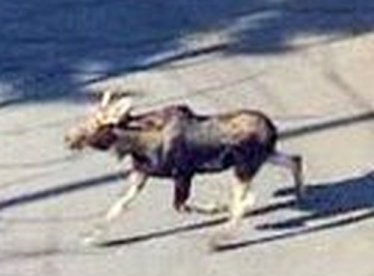 Moose lopes through parking lot/CP24 Twitter