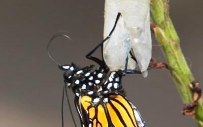 Metafora fluturelui