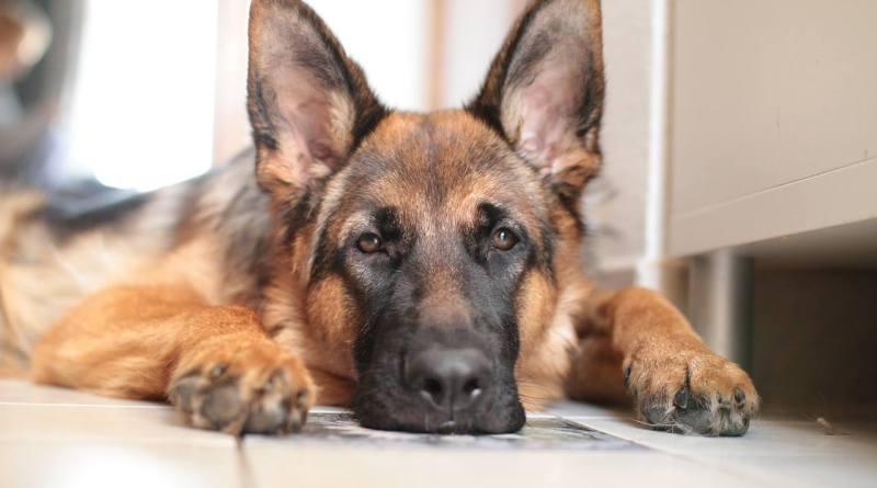 Le comportement destructeur d'un chien : les raisons et les solutions
