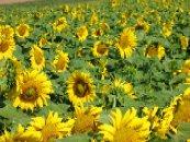 zonnebloemen-omgeving