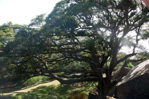 A tree at Fort George, Scarborough, Tobago.