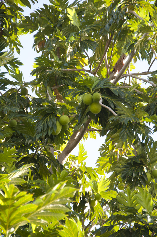 A breadfruit tree just behind the pool area.