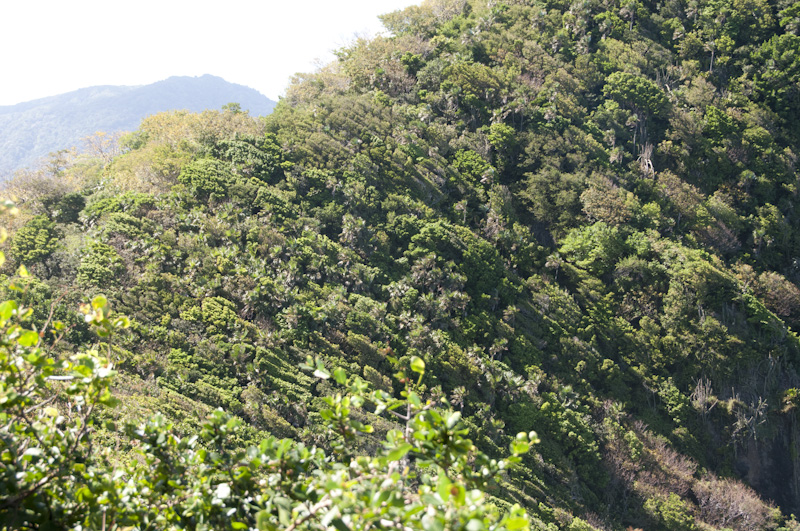 Windswept foliage up the side of a mountain on Little Tobago