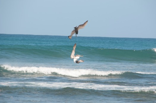 Pelicans diving for fish.