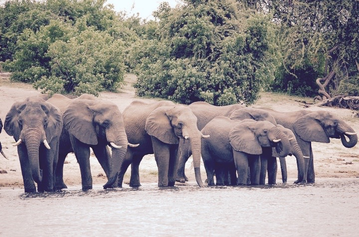 Éléphants d'Afrique