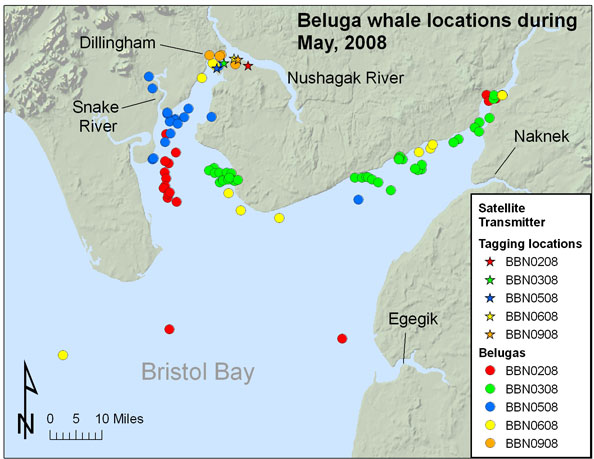 Beluga whale sightings