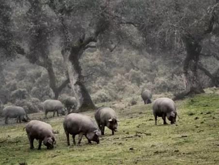 Iberico varkensvlees