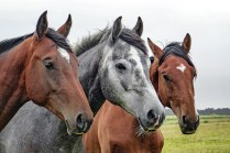 horses-1414889_960_720