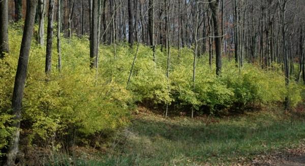 Invasive Plants | Boone County Arboretum