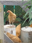 The BCC Chicken Coop project