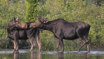 Moose Large ungulate