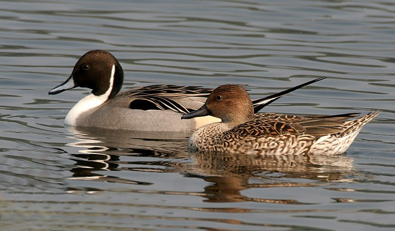 Dabbling Ducks of BC CORE Hunter Education Course